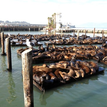 seals laying on floating docks along Fisherman's Wharf in San Francisco