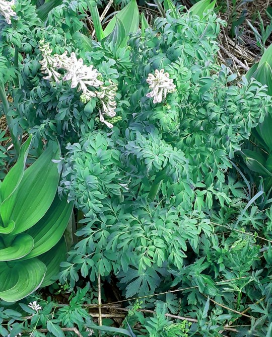 ferny foliage and pink/white flower stalks cover the plant