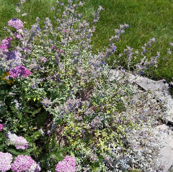 faded flowers of nepeta and yarrow