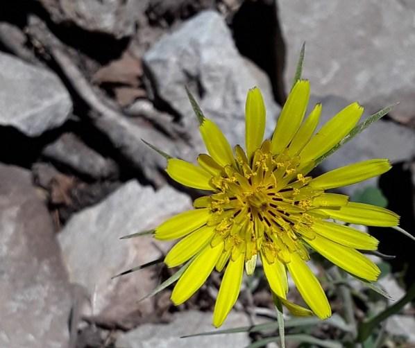 this yellow flower has brown stamen