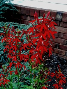 Cardinal flower has blooms of a shocking red color