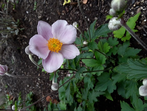 a soft pink Japanese anemone flower in bloom