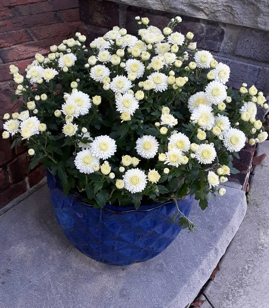 A white chrysanthemum in a blue pot