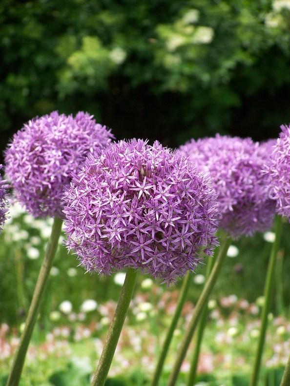 Allium have large purple pompom flowers