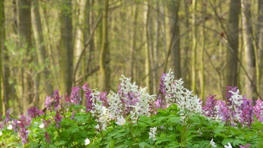 Corydalis grows in a wooded meadow