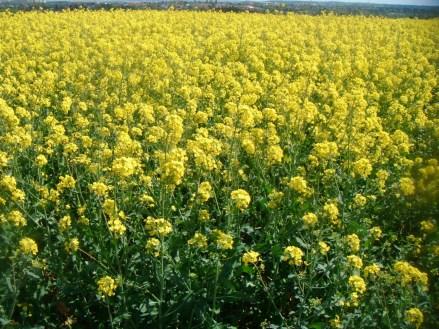 field-of-rapeseed