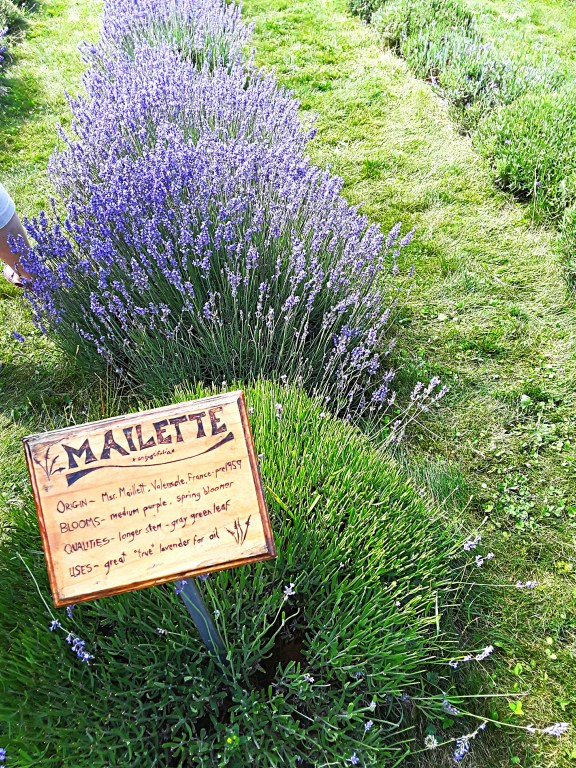 """""""Mailette' is a compact lavender pl.ant with intense blue flowers"""
