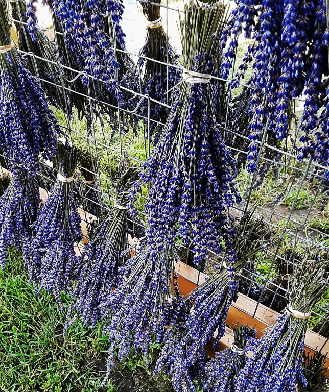 bunches of lavender flowers tied with twine and hung on racks to dry.