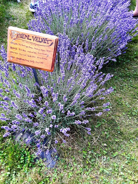 Evenly spaced spikes of purple top a wide bush of lavender 'Royal Velvet.'