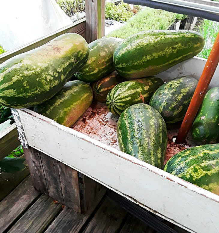 Display of striped whole watermelons.