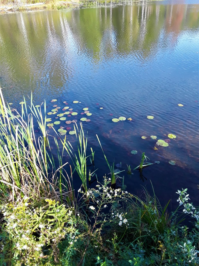 lily pads edge the lake
