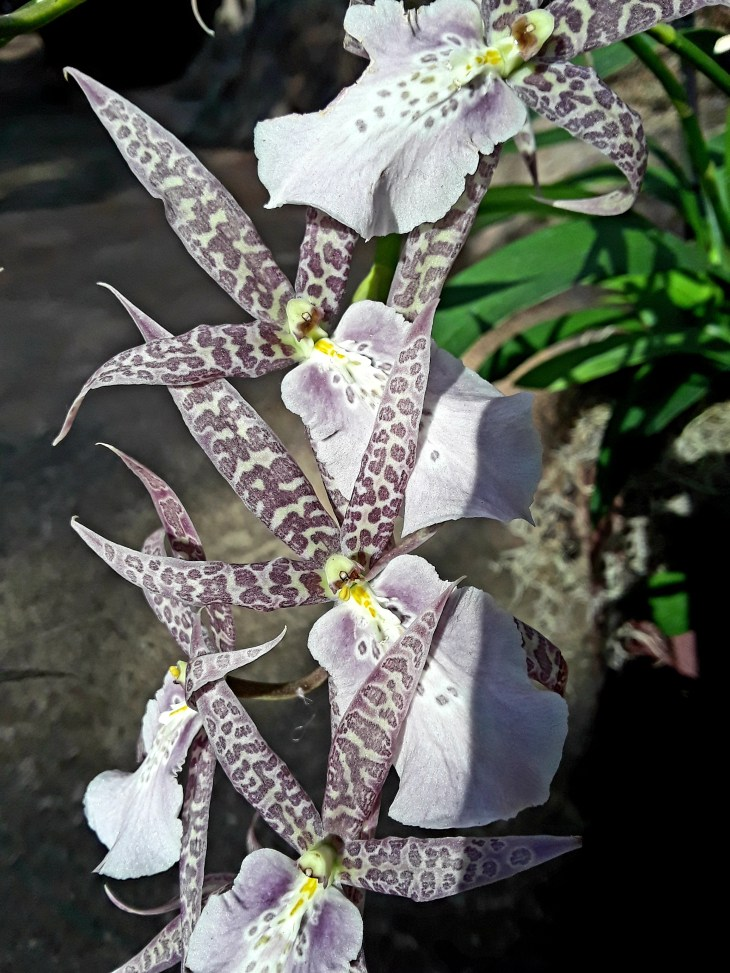 These orchids have mottled lavender petals reminiscent of a leopard's spots