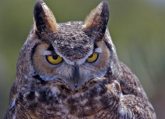 "Ekkehard Fischer ""Great Horned Owl"""