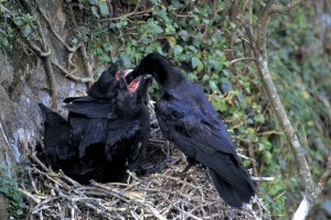 Crow Feeding Young Ones