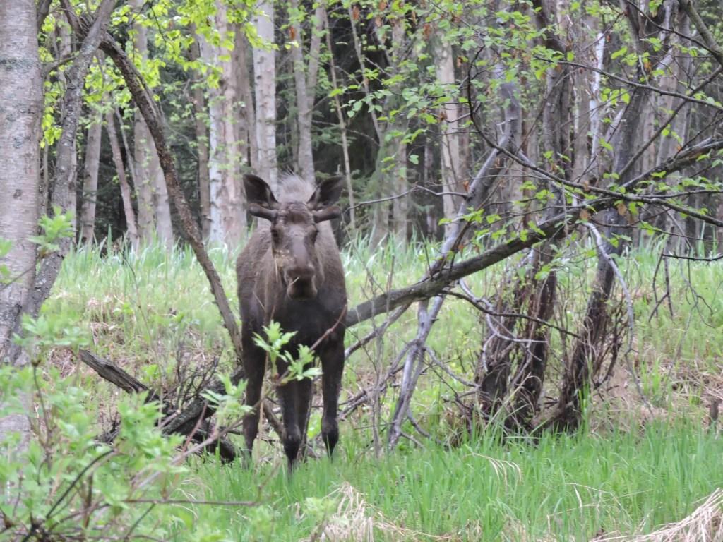 Moose in Earthquake Park, Anchorage, Alaska