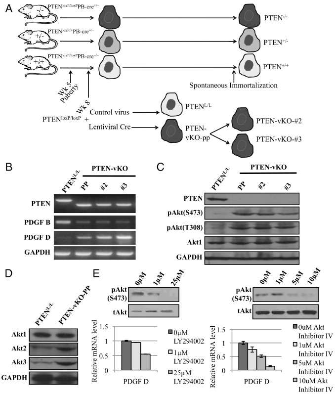 PTEN Regulates PDGF Ligand Switch for β-PDGFR Signaling in