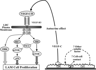 Vascular Endothelial Growth Factors C and D Induces