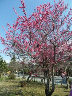 Plum blossoms in full bloom!