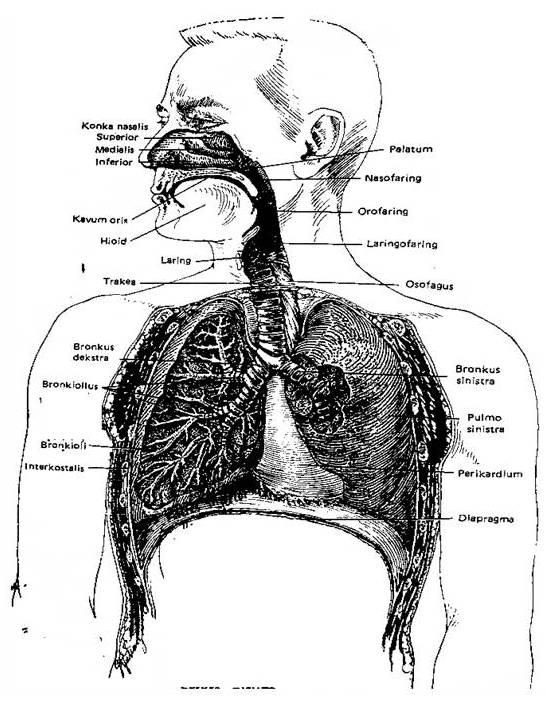 Pembungkus Paru Paru : pembungkus, Anatomi, Paru-Paru, Radiograf