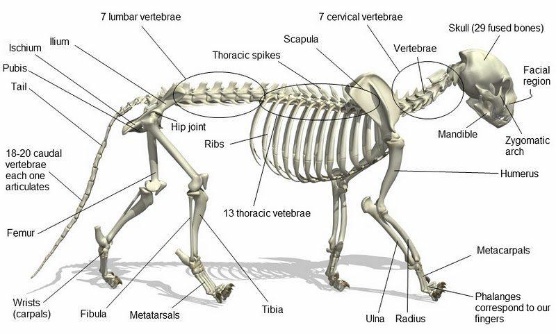 diagram of whitetail deer skull rabbit heart cat anatomy – animal jam warrior tips