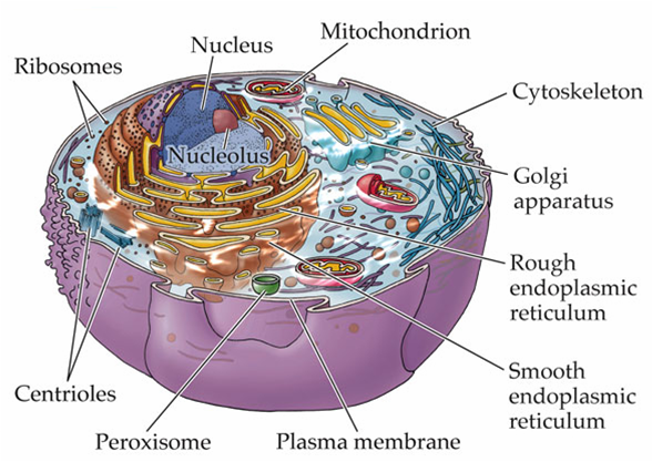 Animal Cell Organelles Diagram
