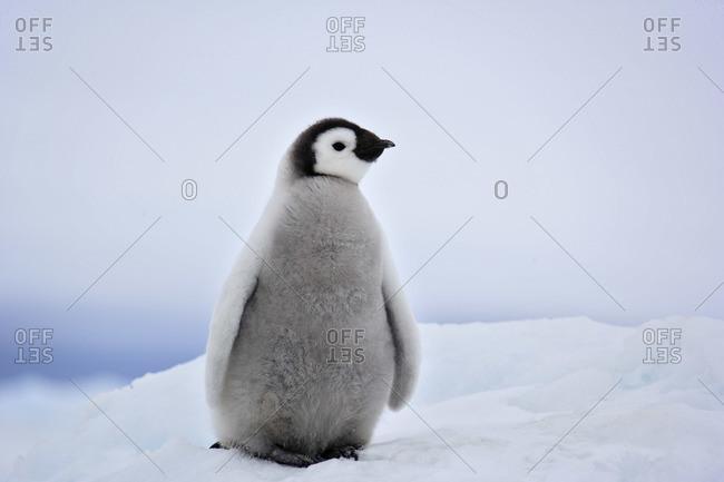 baby emperor penguin stock