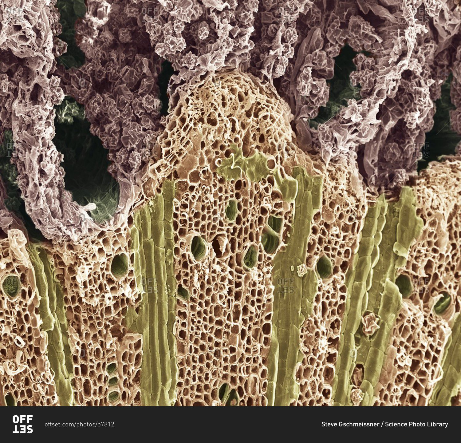 Magnification View Of Wood Under A Color Scanning Electron