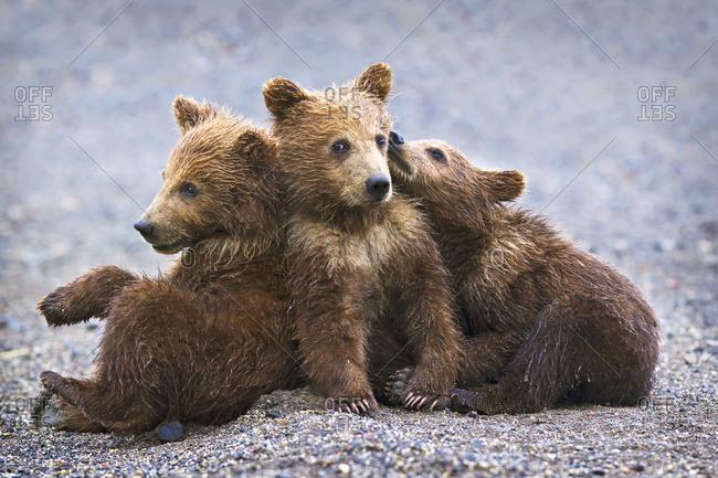 kodiak bear stock photos
