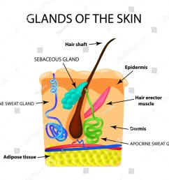 the structure of the hair sebaceous gland sweat gland infographics vector illustration on isolated background ez canvas [ 1000 x 880 Pixel ]