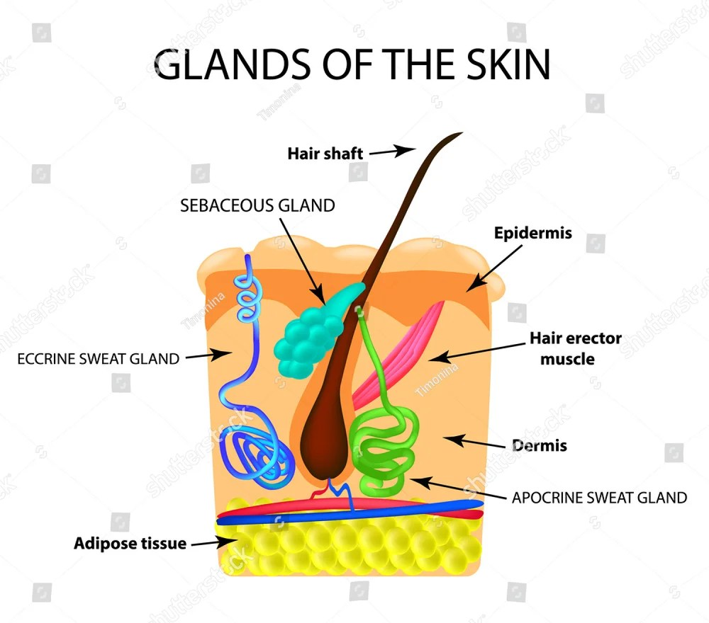 medium resolution of the structure of the hair sebaceous gland sweat gland infographics vector illustration on isolated background ez canvas