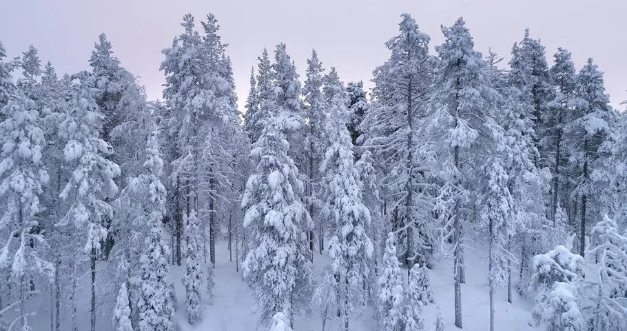 The wild forest reindeer or finnish caribou (rangifer tarandus fennicus) is the native reindeer from finland and northwestern part of russia. Snow Covered Trees In Taiga Stock Footage Video 100 Royalty Free 1025620739 Shutterstock
