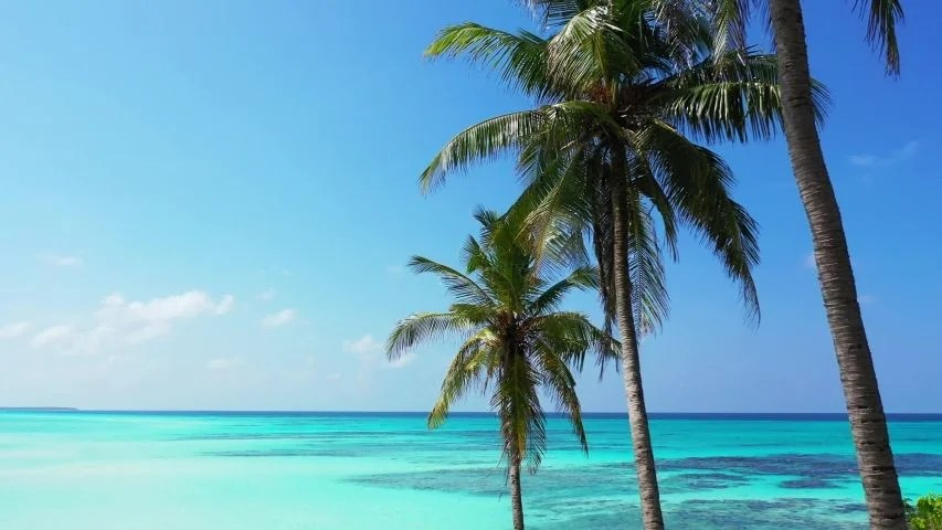 Palm Tress Zoom In With The Background Of The Amazing Turquoise Waters Of The Carribean Sea