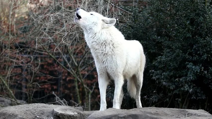 Anime Girl Wallpaper White Haired Wolf Girl Howling White Wolf Stock Footage Video 100 Royalty Free