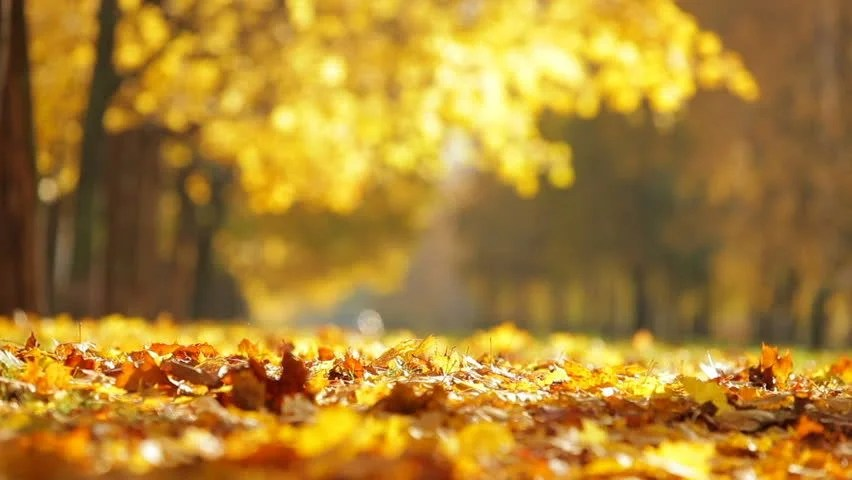 Falling Maple Leaves Wallpaper Leaf Fall In The Autumn City Park Beautiful Background