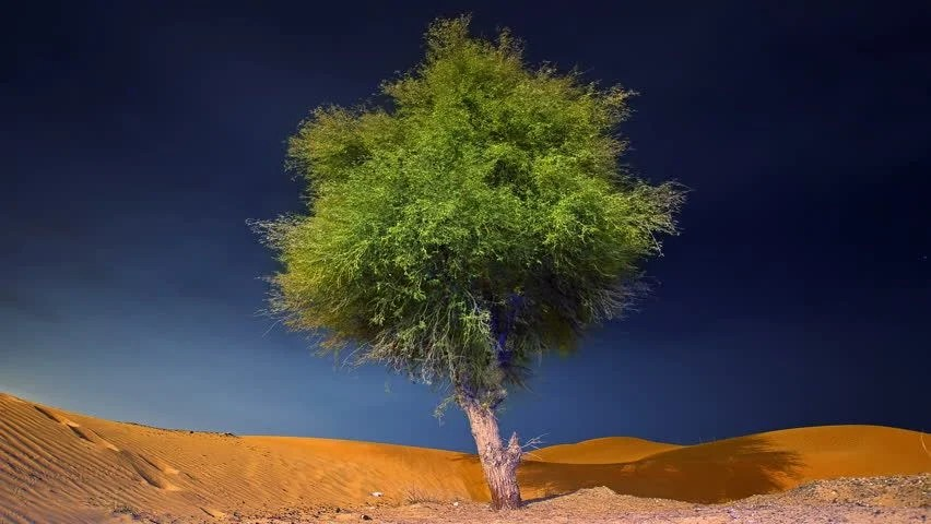 Ghaf Tree Alone in a Stock Footage Video 100 Royaltyfree 3685550  Shutterstock