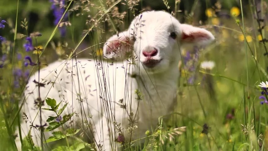 Lamb Definition Meaning