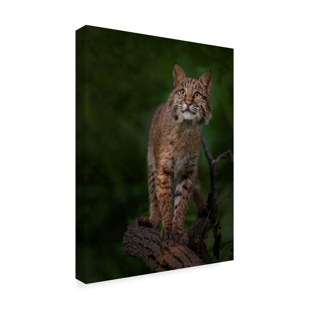 medium resolution of shop galloimages online bobcat poses on tree branch 1 canvas art multi color free shipping today overstock 21814289