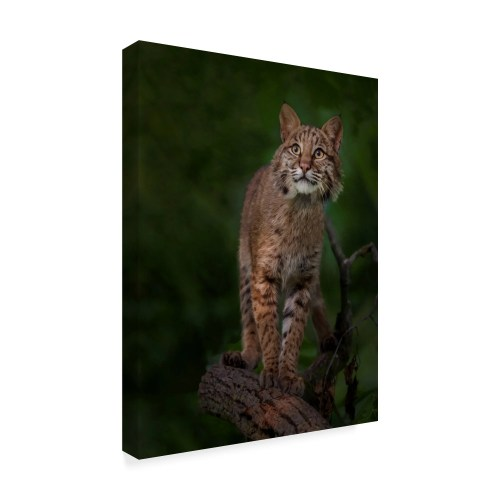 small resolution of shop galloimages online bobcat poses on tree branch 1 canvas art multi color free shipping today overstock 21814289