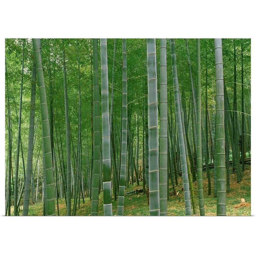 shop bamboo trees in