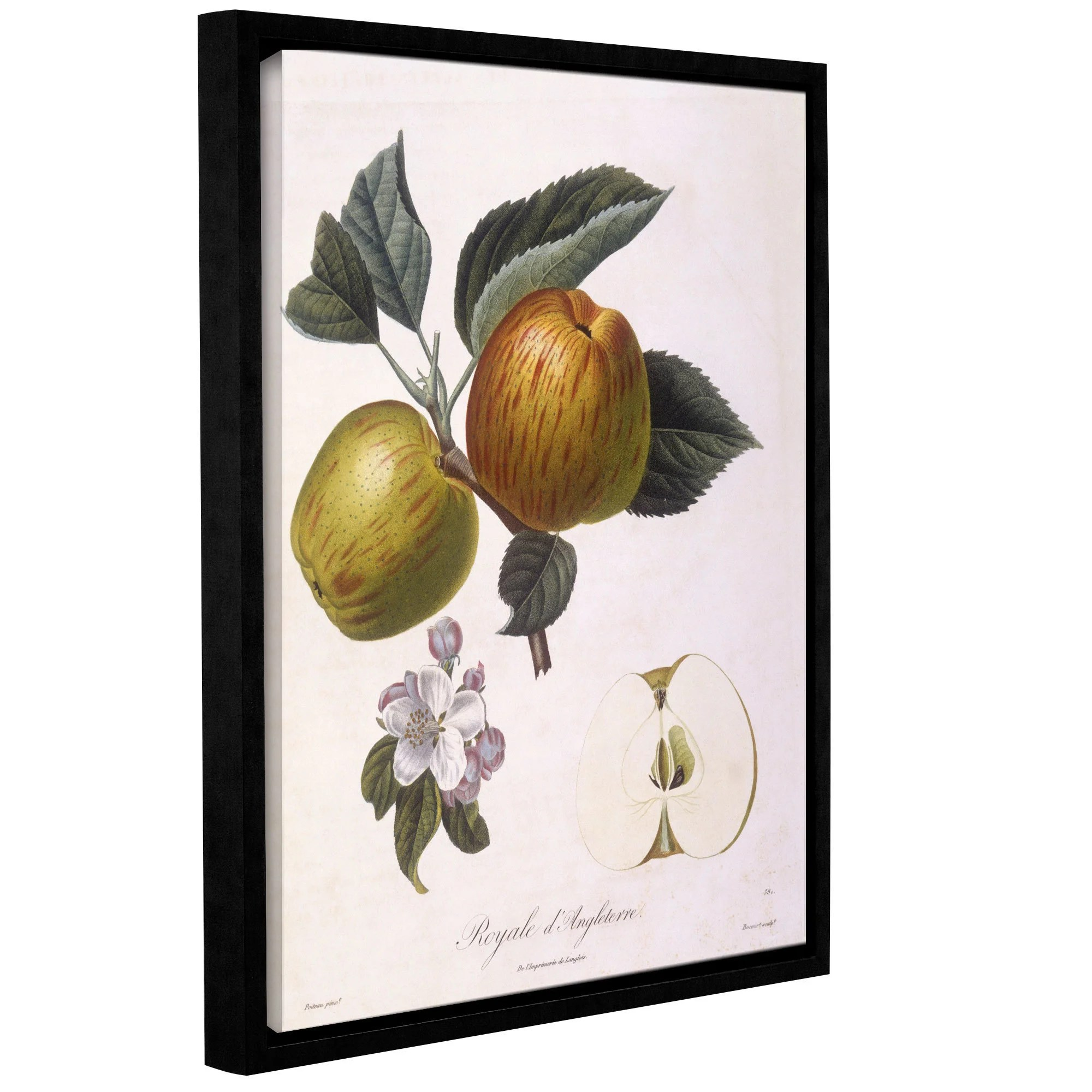 Pierre Antoine Poiteau's Apple, Royale D'Angleterre, Gallery Wrapped Floater-framed Canvas - multi