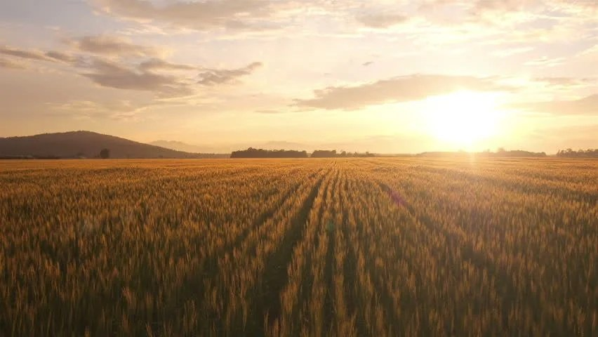 Flash Wallpaper Hd Wheat Farms And Fields Image Free Stock Photo Public