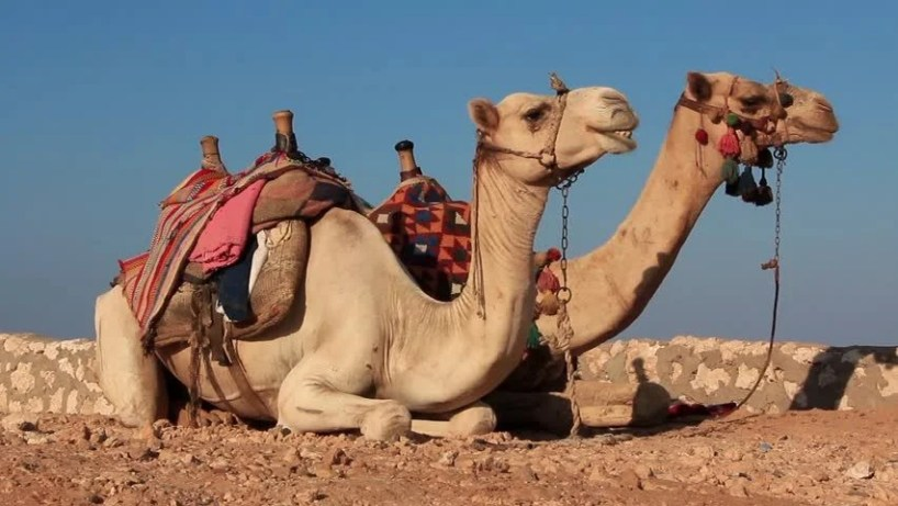 Image result for egypt camels