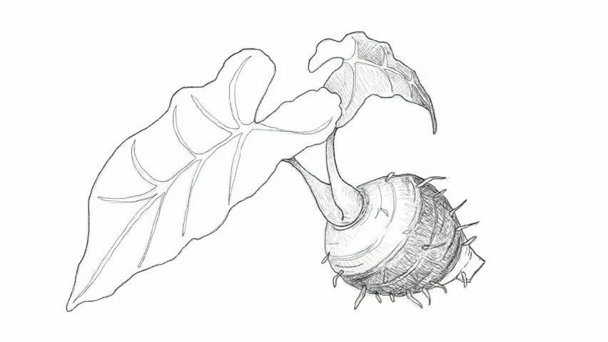Dasheen Plant