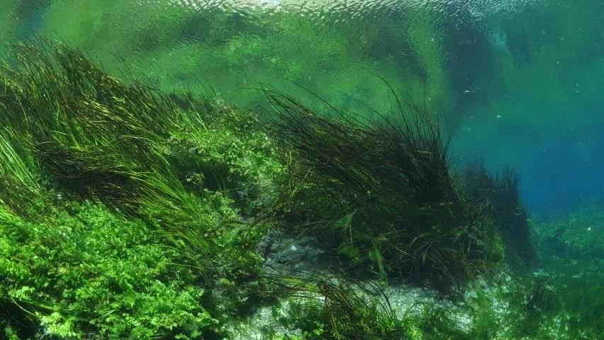 Freshwater Underwater Plants