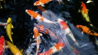 Koi Fish, Fancy Carp Fish Stock Footage Video (100%