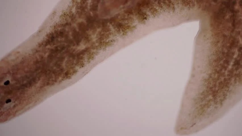 Planaria definitionmeaning