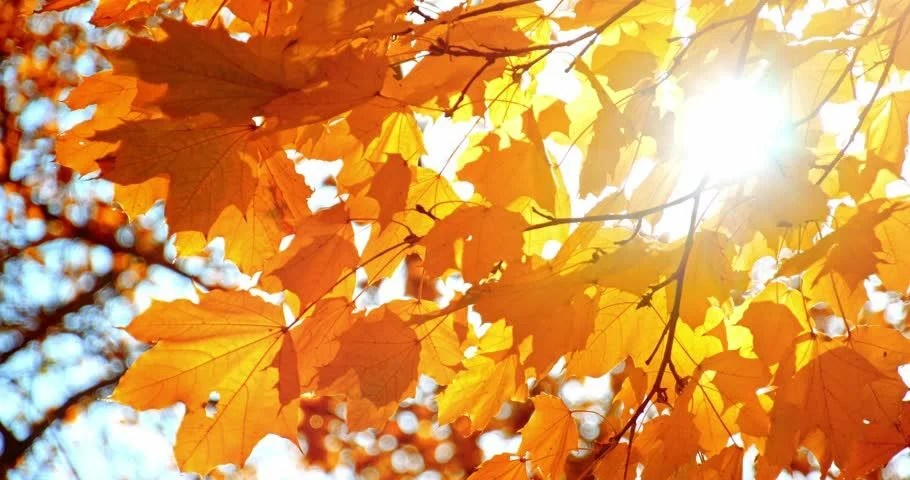 Free Animated Falling Leaves Wallpaper Sun Shining Through Fall Leaves Stock Footage Video 100