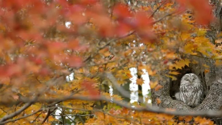 Fall Wallpaper With Owls Stock Video Of Forest Of Autumn Leaves And Owl 12447323