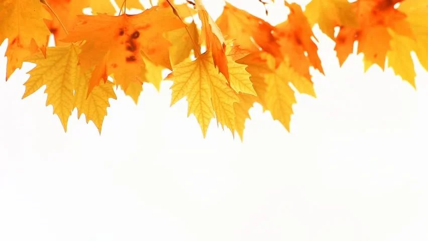 Fall Pumpkin Background Wallpaper Red Autumn Maple Leaves Swaying Stock Footage Video 100