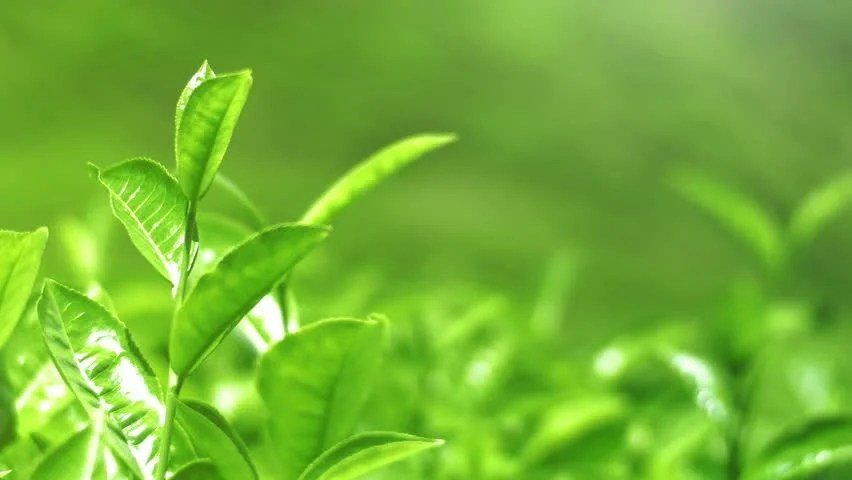 Shutterstock Hd Wallpapers Shiny Young Green Tea Leaves Stock Footage Video 100